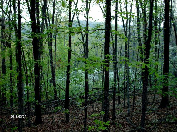dogwoods 5