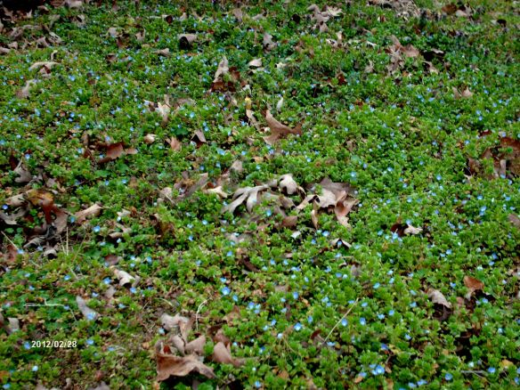 spring bluets 2012