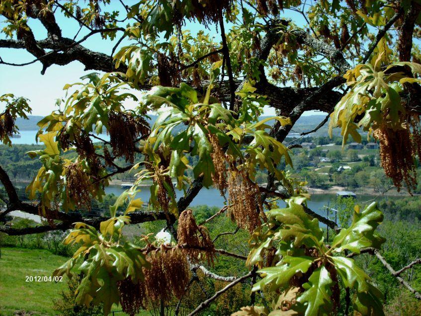 oak tassels