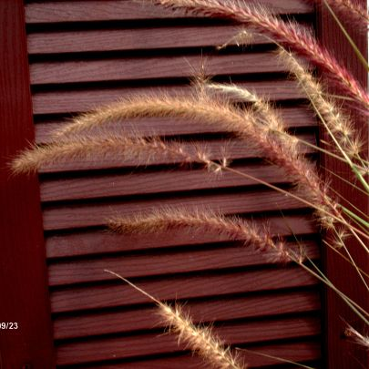 fall grasses 2012
