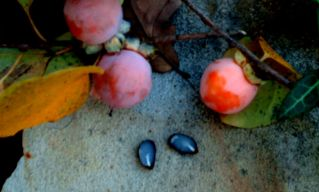 fall persimmon seed 2