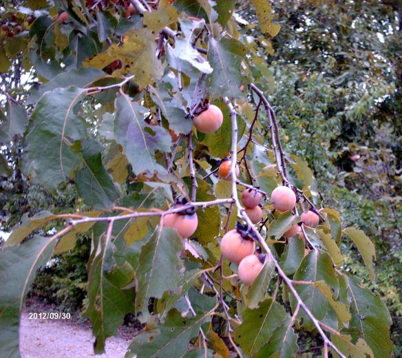 fall persimmons