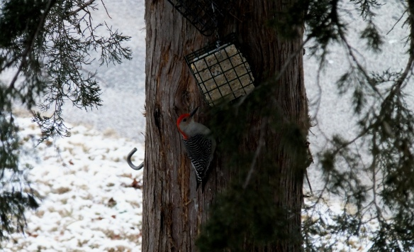 Sapsucker at the suet