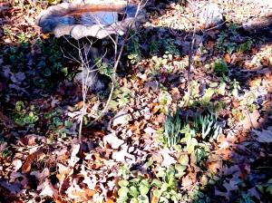 Daffodil shoots in Jan