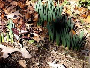 Daffodils in Jan garden
