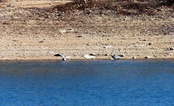 Herons fishing