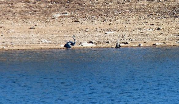 herons in Jan