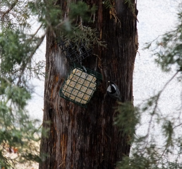 Nuthatch at the Suet