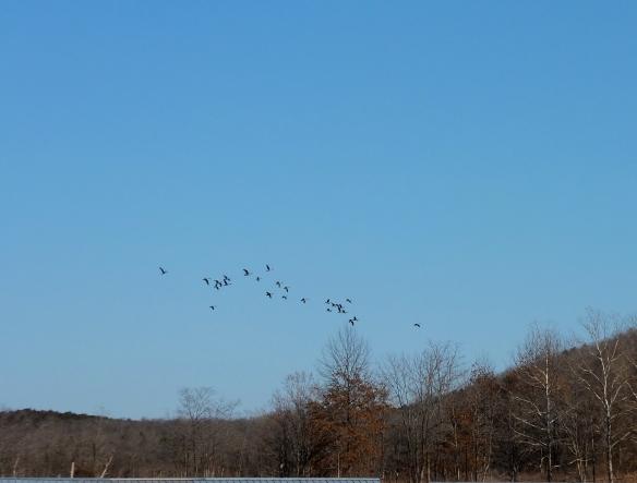 Wild geese in Jan 2