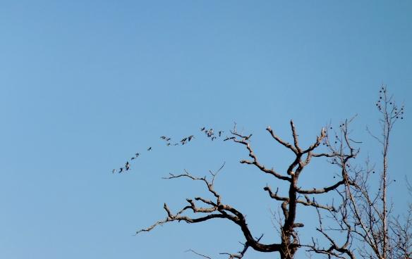 Wild geese in Jan