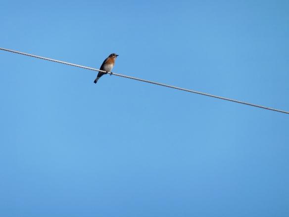 Feb Bluebird