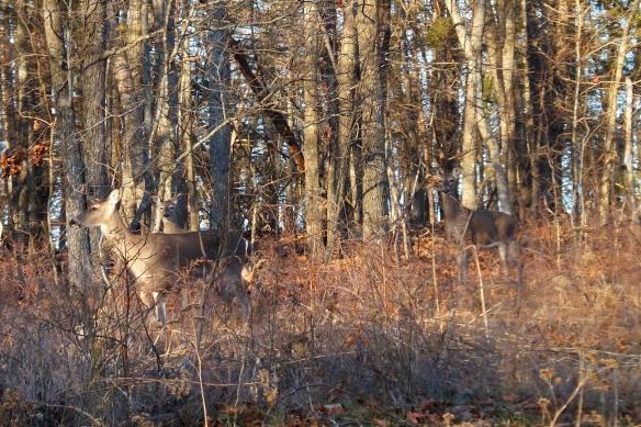 Feb deer 2
