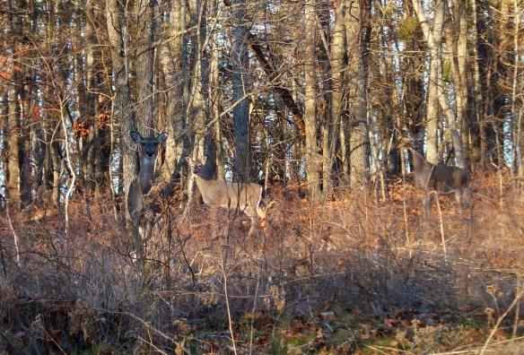 Feb - deer