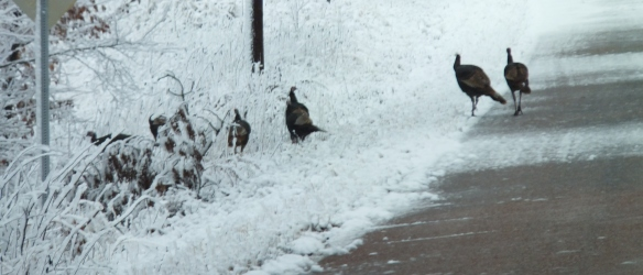 Feb morning snow wild turkey 2
