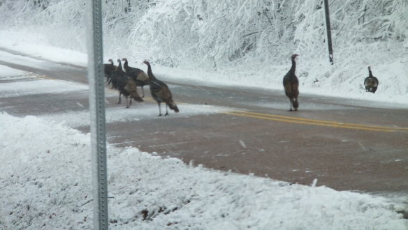 Feb morning snow - wild turkey