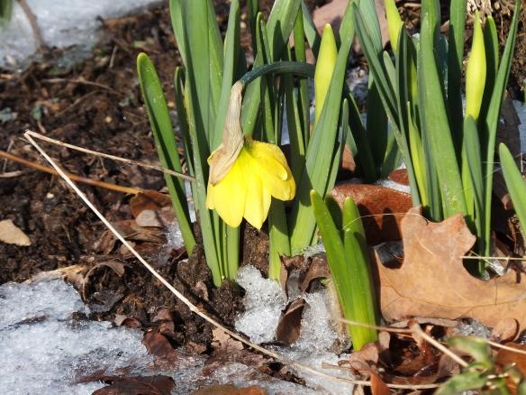 First Daffodil 2