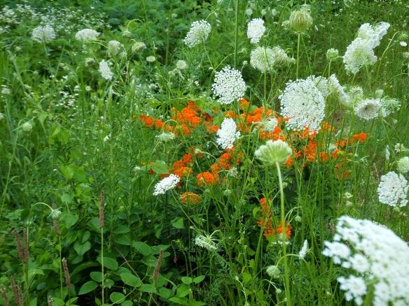 butterfly weed and queen annes lace