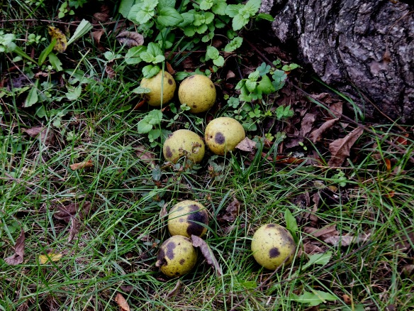 black walnuts