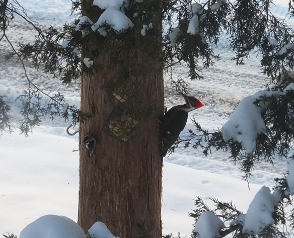 winter visitor - pileated woodpecker