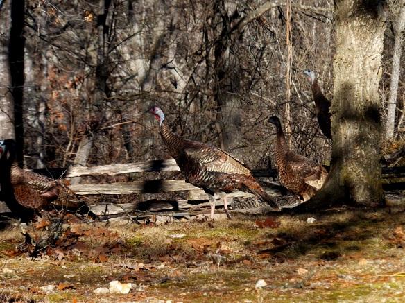 wild turkey 5
