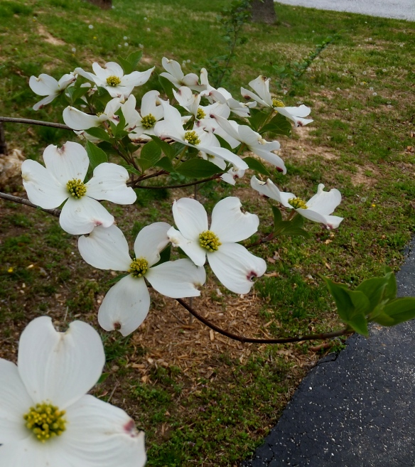 Dogwoods on Easter 2