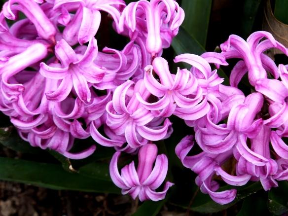 hyacinths 2 2014