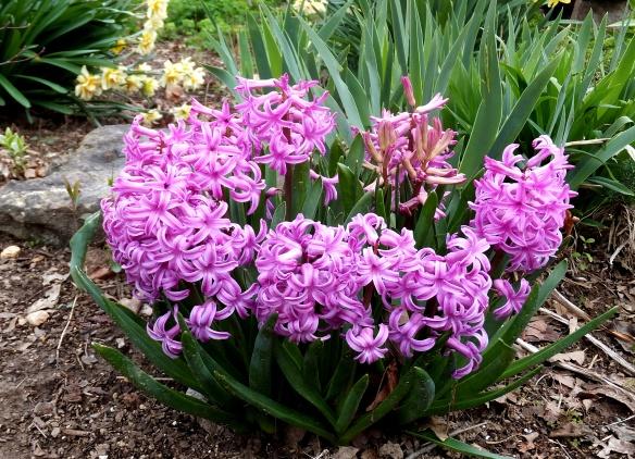 hyacinths 2014
