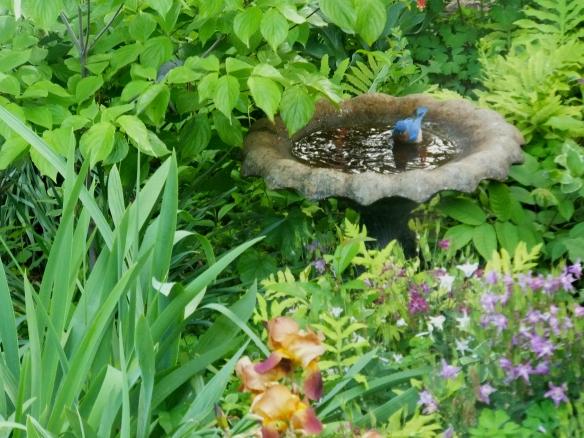 bluebird at the bath 1
