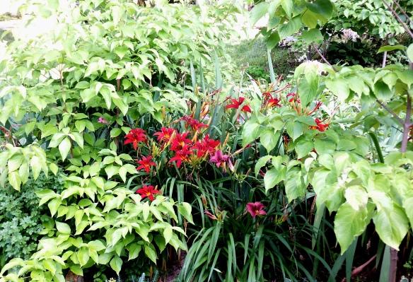 June Daylilies