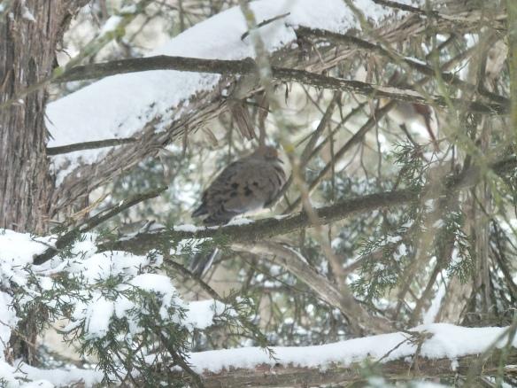 feb morning - dove in snow