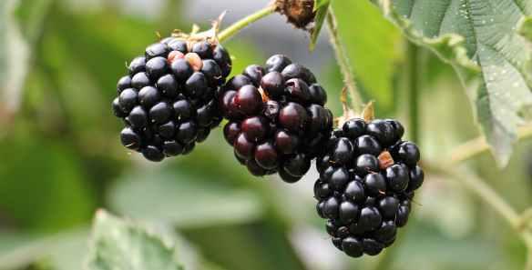 berries blackberries blur close up